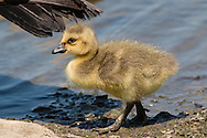 Middletown, New York - Canada geese and goslings at Fancher-Davidge Park on May 7, 2015.