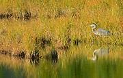 Great blue heron (Ardea herodias) at Vermillion Lakes<br />Banff National Park<br />Alberta<br />Canada