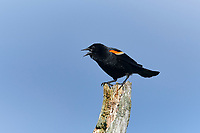 Red-winged Blackbird (Agelaius phoeniceus) perched on an old post, Broad Cove, , Nova Scotia, Canada,