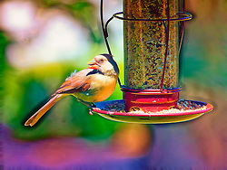 A Female Northern Cardinal Perched on a Red Bird Feeder with some fun pastel colors and sharp impressions.