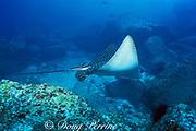 spotted eagle ray, Aetobatus narinari, Cocos Island ( Eastern Pacific Ocean )
