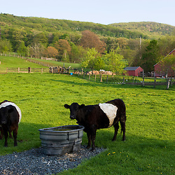 Cows on a farm in Easthampton, Massachusetts.  Connecticut River valley.