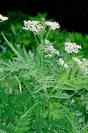 SWEET CICELY Myrrhis odorata (Apiaceae) Height to 1.5m<br /> Upright, downy perennial with hollow stems. Whole plant smells of aniseed when bruised. Favours grassland and damp ground, often near habitation. FLOWERS are white, with unequal petals, and borne in umbels up to 5cm across (May-Jun). FRUITS are elongated and ridged. LEAVES are fern-like, up to 30cm long and 2- or 3-pinnate; note the basal sheaths. STATUS-Introduced and naturalised, mainly N England and Scotland.