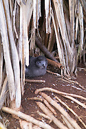 A baby Wedge-tailed Shearwater in it's natural nest at the Kilauea Lighthouse on the island of Kauai, Hawaii