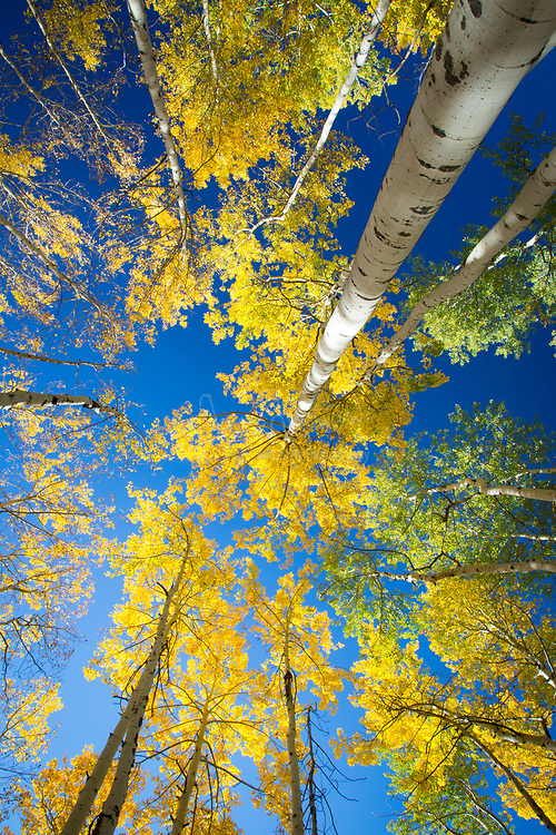 Aspen grove in the San Juan mountains of Colorado