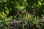 Ornate Hawk-eagles (Spizaetus ornatus) Adult & Juvenile in nest<br /> Surama<br /> Rainforest<br /> GUYANA. South America<br /> RANGE: Southern Mexico and the Yucatán Peninsula, to Trinidad and Tobago, south to Peru and Argentina.