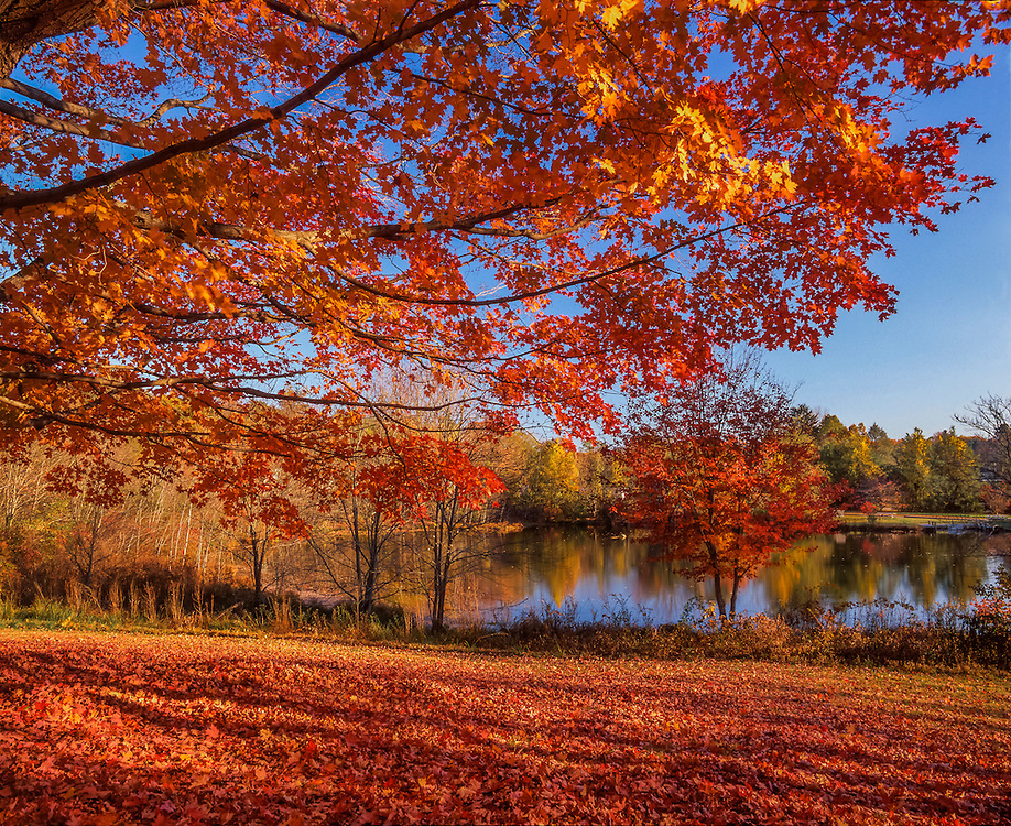 Maple boughs & fall view of pond, leaves cover ground, Essex, CT