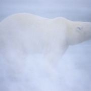 Polar Bear on frozen Hudson Bay in blowing snow. Churchill, Manitoba, Canada