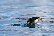 An Atlantic puffin, Fratercula arctica, running across the water to take flight.