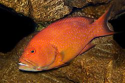 white-edged lyretail grouper or whitemargin lyretail grouper, Variola albimarginata, Indo-Pacific Ocean (c)