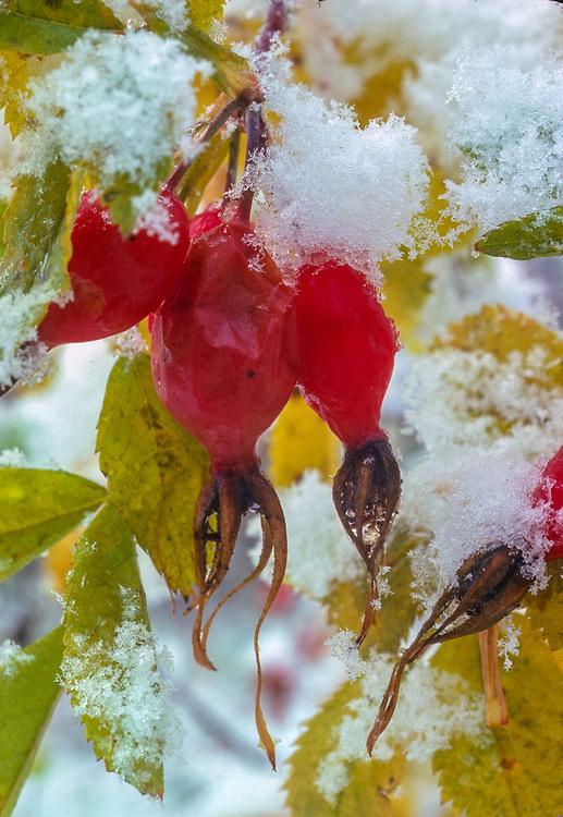Rose hips and snow, Yakima River cooridor, Kittitas County, Washington, USA