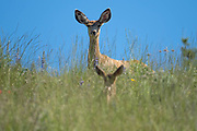 The fawn began to bound up the hill toward the doe who was standing above Mary Anne Creek in the Okanogan Highlands.