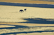 Moose (Alces alces)  walking on the sand ridges of Medicine Lake<br />