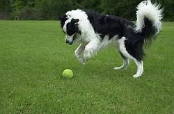 Eddie Sander with his Dogs Jackson and Inka<br /><br />18 June 2004<br /><br />Copyright Paul David Drabble<br /> [#Beginning of Shooting Data Section]<br />Nikon D1 <br /> Focal Length: 35mm<br /> Optimize Image: <br /> Color Mode: <br /> Noise Reduction: <br /> 2004/06/18 09:57:32<br /> Exposure Mode: Manual<br /> White Balance: Auto<br /> Tone Comp: Normal<br /> JPEG (8-bit) Fine<br /> Metering Mode: Center-Weighted<br /> AF Mode: AF-C<br /> Hue Adjustment: <br /> Image Size:  2000 x 1312<br /> 1/400 sec - F/4<br /> Flash Sync Mode: Not Attached<br /> Saturation: <br /> Color<br /> Exposure Comp.: 0 EV<br /> Sharpening: Normal<br /> Lens: 17-35mm F/2.8-4<br /> Sensitivity: ISO 200<br /> Image Comment: <br /> [#End of Shooting Data Section]