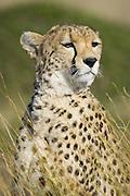 Cheetah<br /> Acinonyx jubatus<br /> Masai Mara Triangle, Kenya