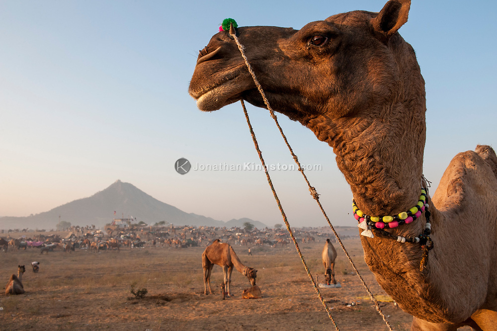 Portrait of a camel, decorated with colorful beads in India.
