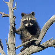 Raccoon, (Procyon lotor) In tree. Fall. Montana. Captive Animal.