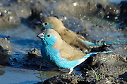 Blue waxbill, Uraeginthus angolensis, Limpopo, South Africa, found in the more arid areas of mixed woodland