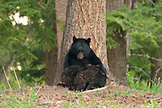 Black bear sow nursing twin cubs in Yellowstone National Park