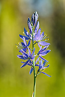 A close-up of the common camas, a beautifully vibrant member of the lily family that is found throughout the Pacific Northwest and the Rocky Mountains. This one was growing in Wyoming's Yellowstone National Park.