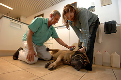 "BRUSSELS, BELGIUM - FEB-2-2007 - Dr. Luc Callewaert applies a tick spray to ""Zulu"" a Mastiff owned by Marcena Dalton. When animals travel from mainland Europe to the UK they must be certified ""Tick Free"" by a veterinarian who issues a certificate which is presented to customs officials. The spray must be applied 24 hours before the trip but the animal must arrive in the UK within 48 hours of the treatment. (PHOTO © JOCK FISTICK)"