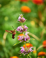 Hummingbird Clearwing Moth (Hemaris thysbe) Feeding on a Bee Balm Flower. Image taken with a Nikon Df camera and 70-300 mm VR lens