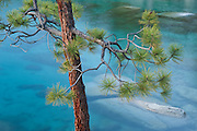 Ponderosa pine tree at Memorial Point on Lake Tahoe's NE shoreline. Lake Tahoe is a large freshwater lake in the Sierra Nevada mountain range on the California/Nevada Border. At a surface elevation of 6,225 ft Lake Tahoe is the largest alpine lake in North America with a epth of 1,645 ft.