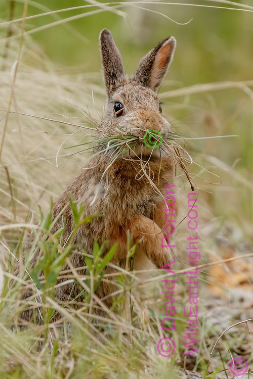 Mountain cottontail rises up on its rear legs as if to see something ahead,  with dry grass and pine needles for lining the nest chamber and closing off the entrance to its burrow, Jemez Mountains, NM, ©  David A. Ponton