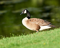 Canada Goose at the Sourland Mountain Preserve.  Image taken with a Nikon D800 camera and 300 mm f/2.8 VR lens.