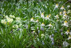 Erythronium 'Jeanette Brickell' - Fawn lily, Dog's tooth violet - with Muscari armeniacum 'Babies Breath' syn. 'Baby's Breath' syn. 'Jenny Robinson' AGM - Grape hyacinth
