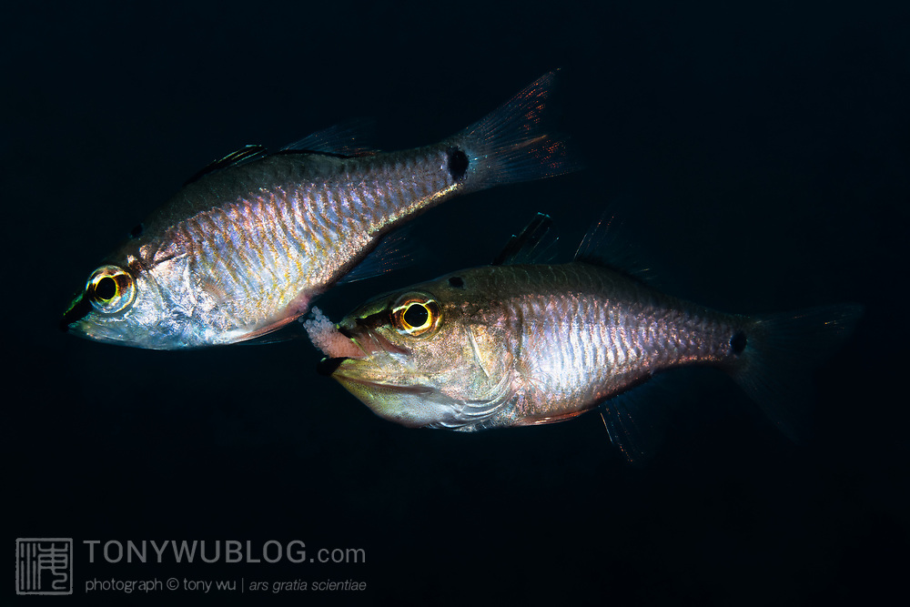 Like other cardinalfish, spotnape cardinalfishes (Ostorhinchus notatus) are paternal mouthbrooders. When a pair of fish are ready to spawn, male and female align side-by-side. As the female pushes out a cluster of eggs, the male fertlizes them, then rapidly moves behind the female to take the eggs into his mouth for brooding. Pictured here is the moment of transfer, with the male below the female, taking the cluster of fertilized eggs into his mouth. At 100% magnification, the eggs that are still inside the female and are just about to emerge are visible. Once the transfer of eggs is accomplished, the male will care for the eggs until maturity. The gestation period varies with water temperature, but hatchout takes place after approimately two weeks. Females in this situation eventually leave the male, but they first exhibit an odd behavior after laying eggs. They appear to harass the male, chasing him and targeting the eggs in his mouth. While avoiding these charges by the female, the male spits out and takes the eggs back into his mouth multiple times. This occurs at blinding speed. The purpose of this post-coital behavior is not clear. It appears almost as if the female is attempting to steal the eggs from the male.