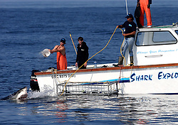 """EXCLUSIVE: Just when you thought it was safe to go back in the water… Great white sharks that once instilled fear around a small island off the coast of Cape Town, South Africa, have not been seen in months. Seal Island became one of the best locations in the world for tourists to see the three-ton predators in their natural habitat and to witness the phenomenon known as """"Air Jaws"""" in which sharks attack seals from underneath and emerge completely from the water. But reports have claimed that there have been no recently sightings of the creatures and the disappearance remains a mystery. 29 Aug 2019 Pictured: Great White Shark. Photo credit: Dan Callister / MEGA TheMegaAgency.com +1 888 505 6342"""