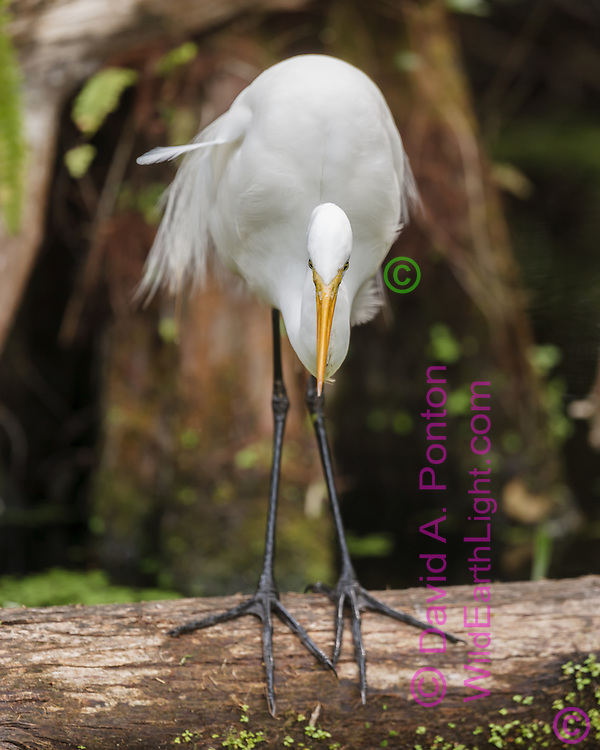 Great egret standing on a log leaning forward in fish hunting posture, long legs and large feet evident, Big Cypress National Preserve, © 2007 David A. Ponton