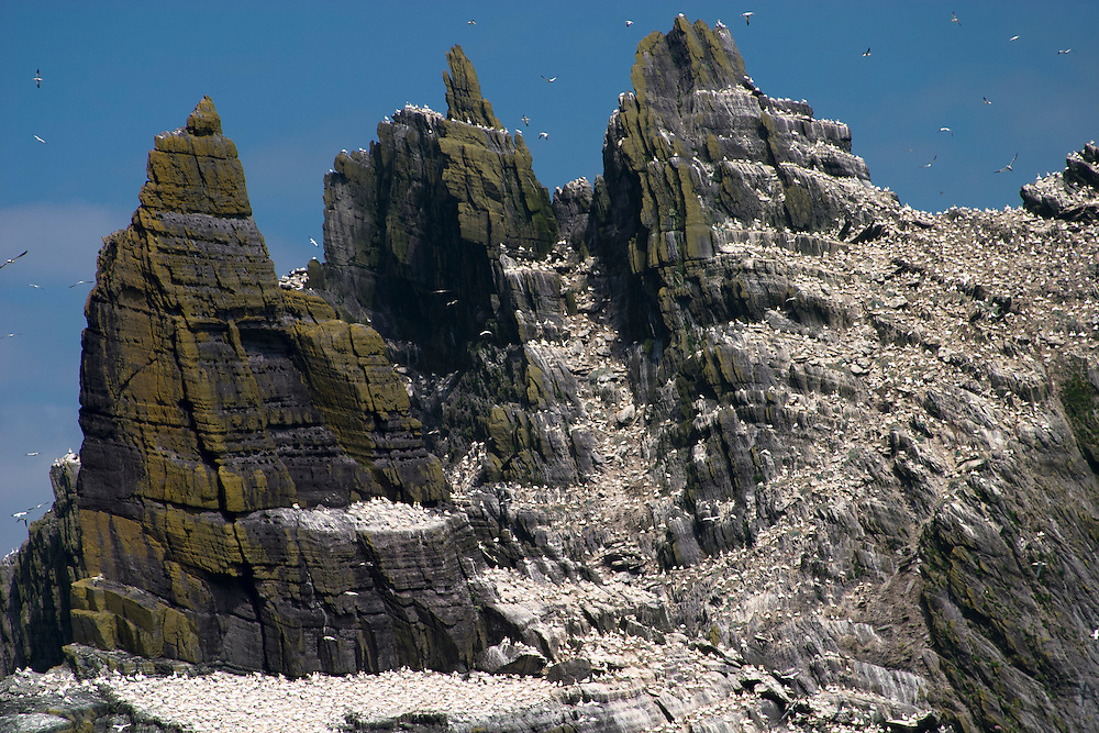 Gannets atop Little Skellig, County Kerry, Ireland
