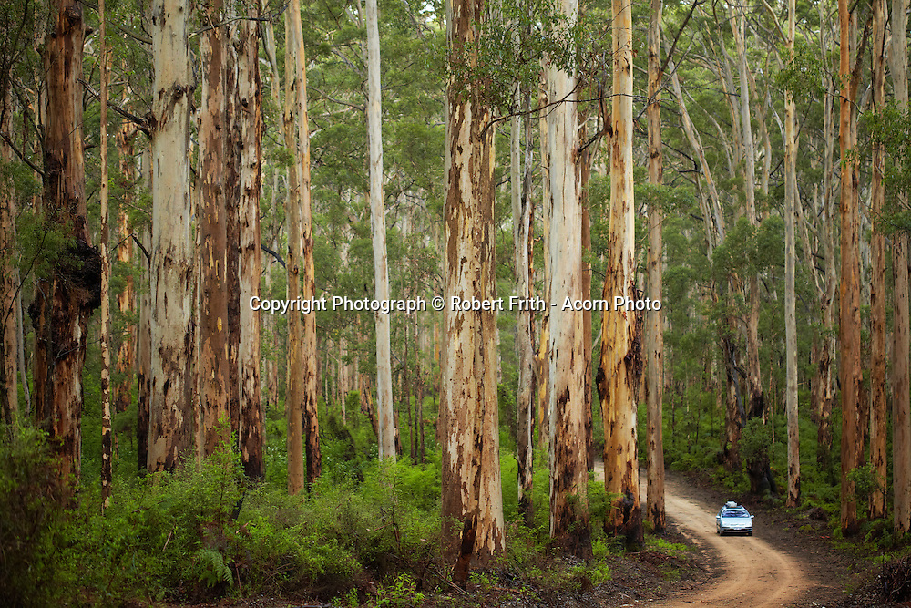 """The Boranup Forest is in the Leeuwin-Naturaliste National Park , 20kms from Margaret River in Western Australia's South-West.<br /> The forest is home to the pale-barked Karri Trees (third tallest trees in the world) that reach heights of 60m or more. The Boranup Forest is about a 100km east of the main karri belt and is separated by grey infertile sand. One unique aspect of the forest is that these karri trees grow in limestone based soils where as in the main karri belt the trees grow in deep rich red clay soil.<br /> <br /> Boranup is an Aboriginal word that means """"place of the male dingo"""" and the forest lies in the land of the Wardandi (people of the Warden, the ocean spirit) one of the fourteen Nyungar tribes that live in the State's South-West. The Wardandi tribe's land extends from the coast at Stratham to the sea at Augusta."""