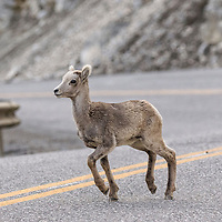 Mountain sheep lamb running to find mama. Middle of the Alaska Highway, British Columbia, Canada