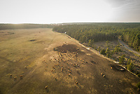 Aerial view of herd of cows in the field at sunset at island of Vormsi, Estonia