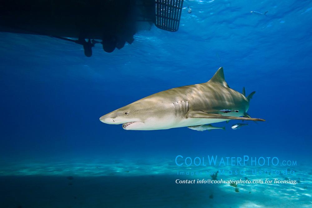 Lemon Shark, Negaprion brevirostris, swimming under boat, West End, Grand Bahama, Atlantic Ocean