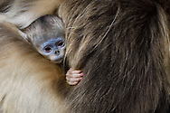 Golden Snub-nosed Monkey, Rhinopithecus roxellana, mother with very young baby in Foping Nature Reserve, Shaanxi, China