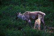 Caribou cow with calf, Rangifera arcticus, Mulchatna Herd, tundra near Lower Twin Lake, Lake Clark National Park, Alaska.