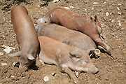 Brown piglets outdoors in field