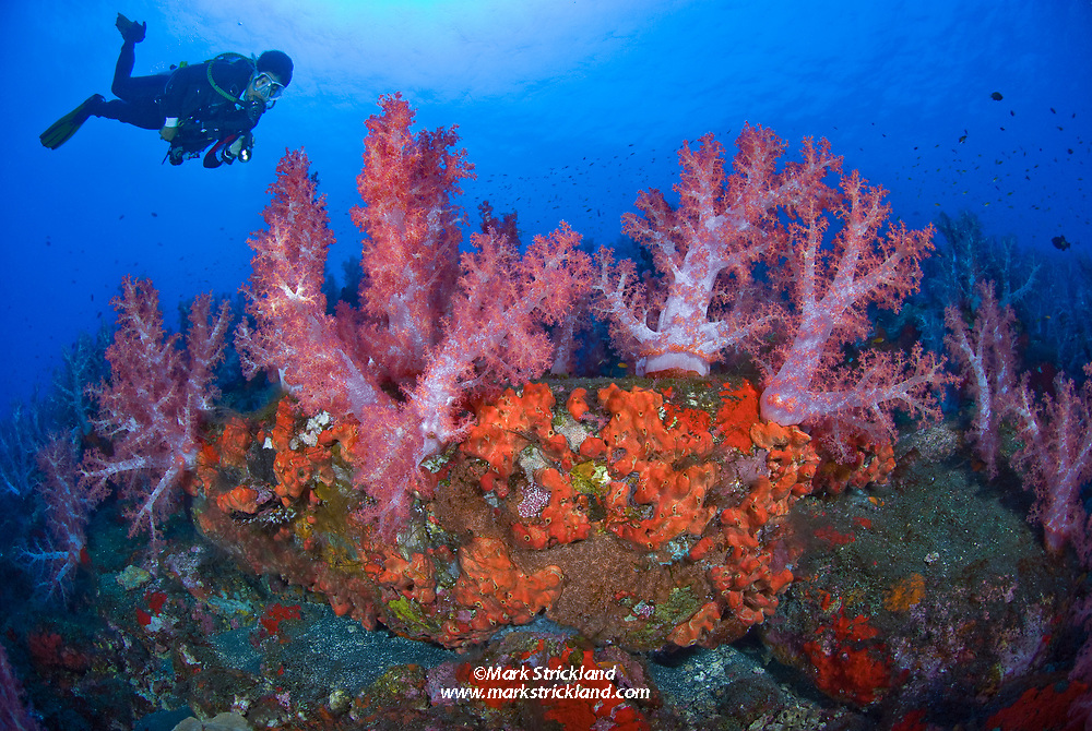 A diver hovers above thriving colonies of encrusting sponge and soft corals, Dendronepthya sp., at a site called Purple Haze. Barren Island, Andaman Islands, India, Andaman Sea, Indian Ocean