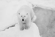 Black and white polar bear adult (Ursus maritimus) sitting on the ice, Spitsbergen, Northwest Coast of the Svalbard Archipelago, Norway
