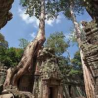 """According to """"Wikipedia"""" - The trees growing out of the ruins are perhaps the most distinctive feature of Ta Prohm, and """"have prompted more writers to descriptive excess than any other feature of Angkor."""" Two species predominate, but sources disagree on their identification: the larger is either the silk-cotton tree (Ceiba pentandra) or thitpok Tetrameles nudiflora, and the smaller is either the strangler fig (Ficus gibbosa). or Gold Apple (Diospyros decandra). Indulging in what might be regarded as """"descriptive excess,"""" Angkor scholar Maurice Glaize observed, """"On every side, in fantastic over-scale, the trunks of the silk-cotton trees soar skywards under a shadowy green canopy, their long spreading skirts trailing the ground and their endless roots coiling more like reptiles than plants."""""""