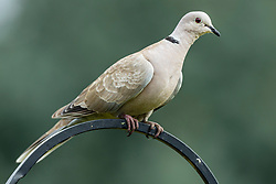 Eurasian Collared Dove (Streptopelia decaocto) a member of the Columbidae family of birds perches on the top of a Shepard's hook