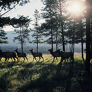 A herd of elk cows running through timber as evening light filters through the forest. Canada