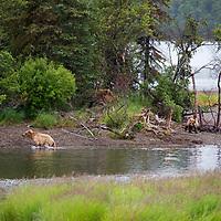 USA, Alaska, Katmai. Young grizzlies on riverbank.