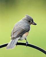 Tufted Titmouse. Image taken with a Nikon D5 camera and 200-500 mm f/5.6 VR lens.