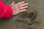 An adult human hand next to a Brown bear paw print in the sand at the McNeil River State Game Sanctuary on the Kenai Peninsula, Alaska. The remote site is accessed only with a special permit and is the world's largest seasonal population of brown bears in their natural environment.