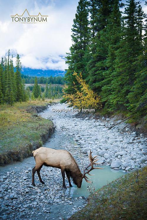 bull elk in river bottom drinking water